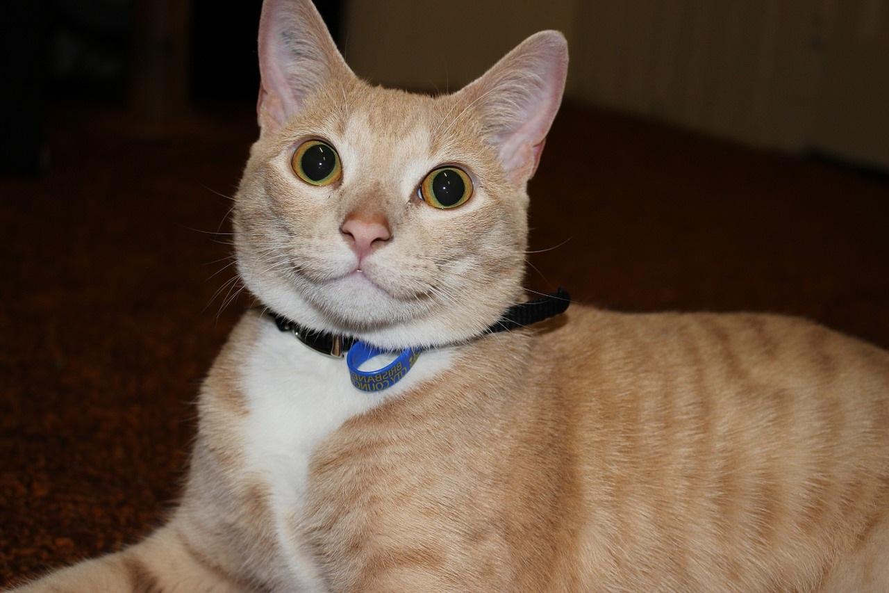 рыжие коты и кошки фото (13)
