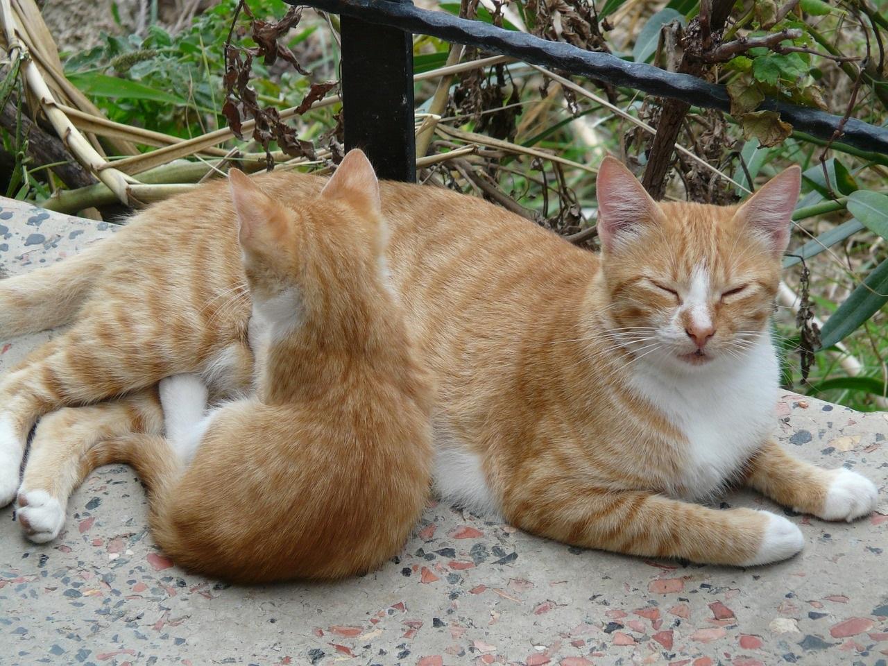 рыжие коты и кошки фото (15)