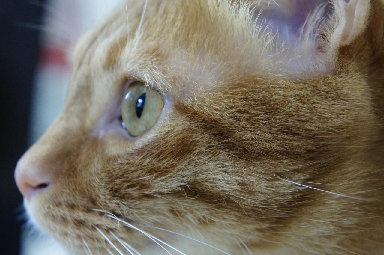 рыжие коты и кошки фото (3)