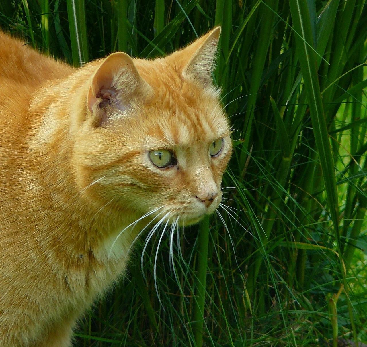 рыжие коты и кошки фото (5)