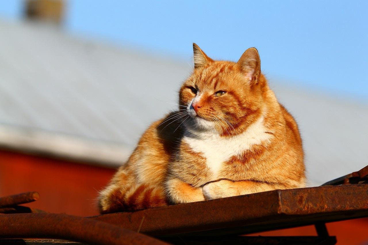 рыжие коты и кошки фото (7)