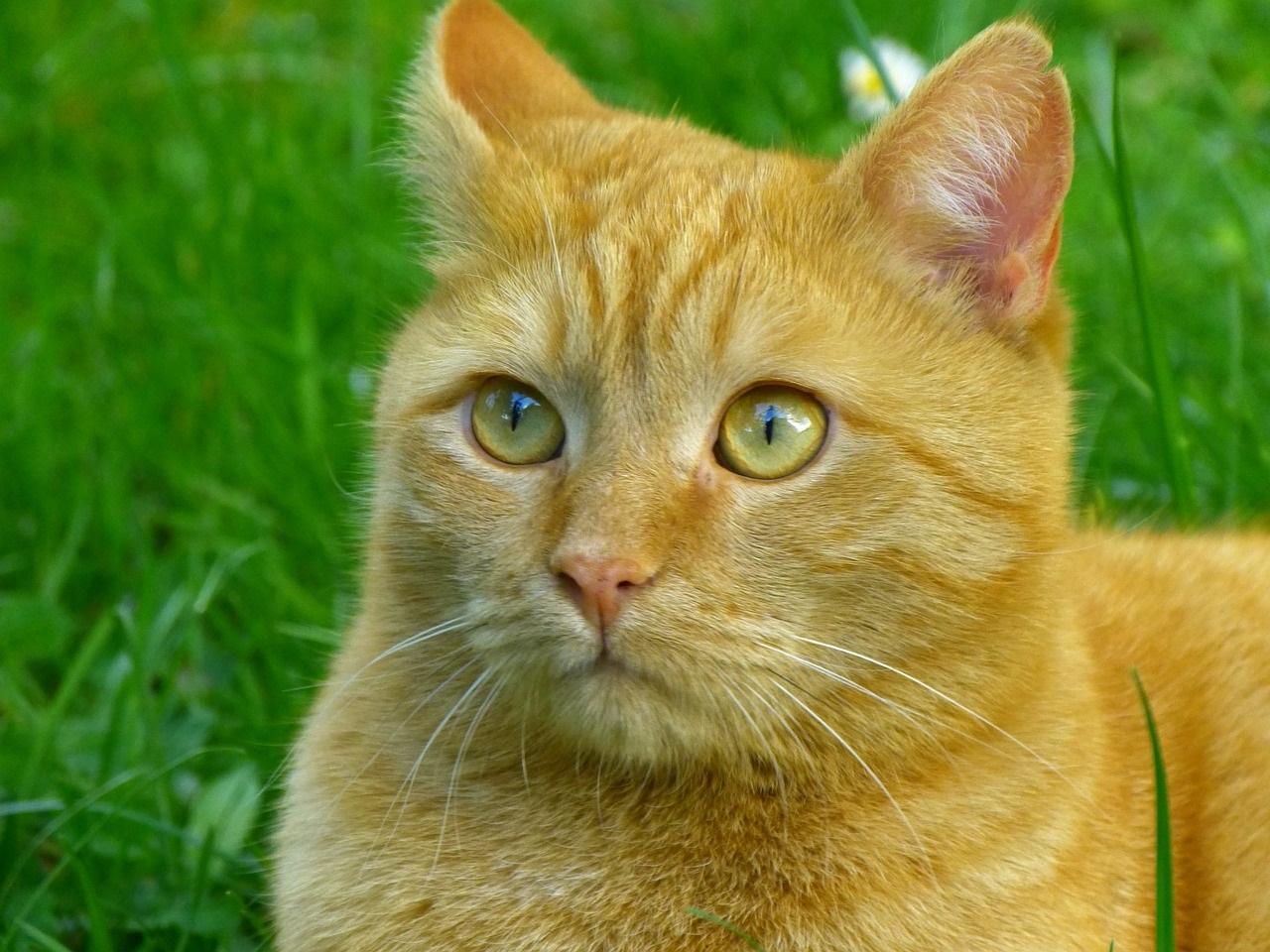 рыжие коты и кошки фото (9)