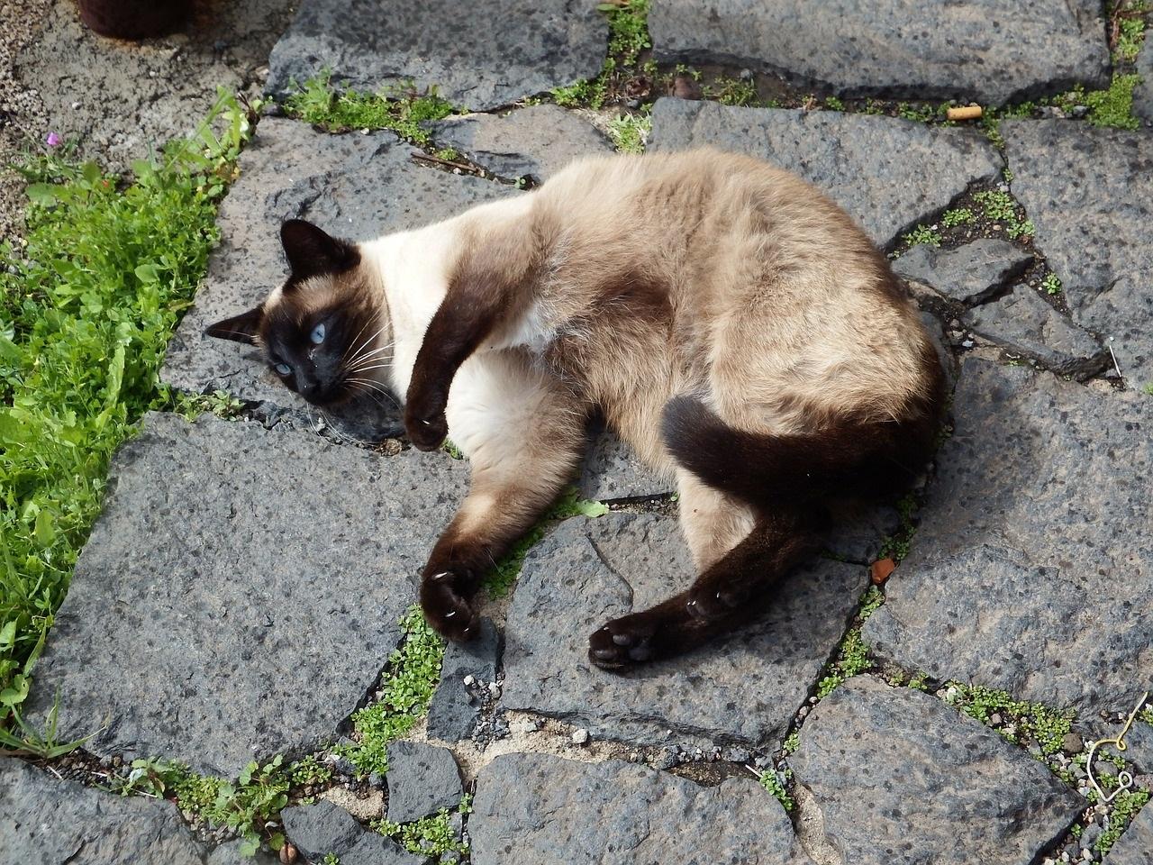 сиамская кошка фото (1)