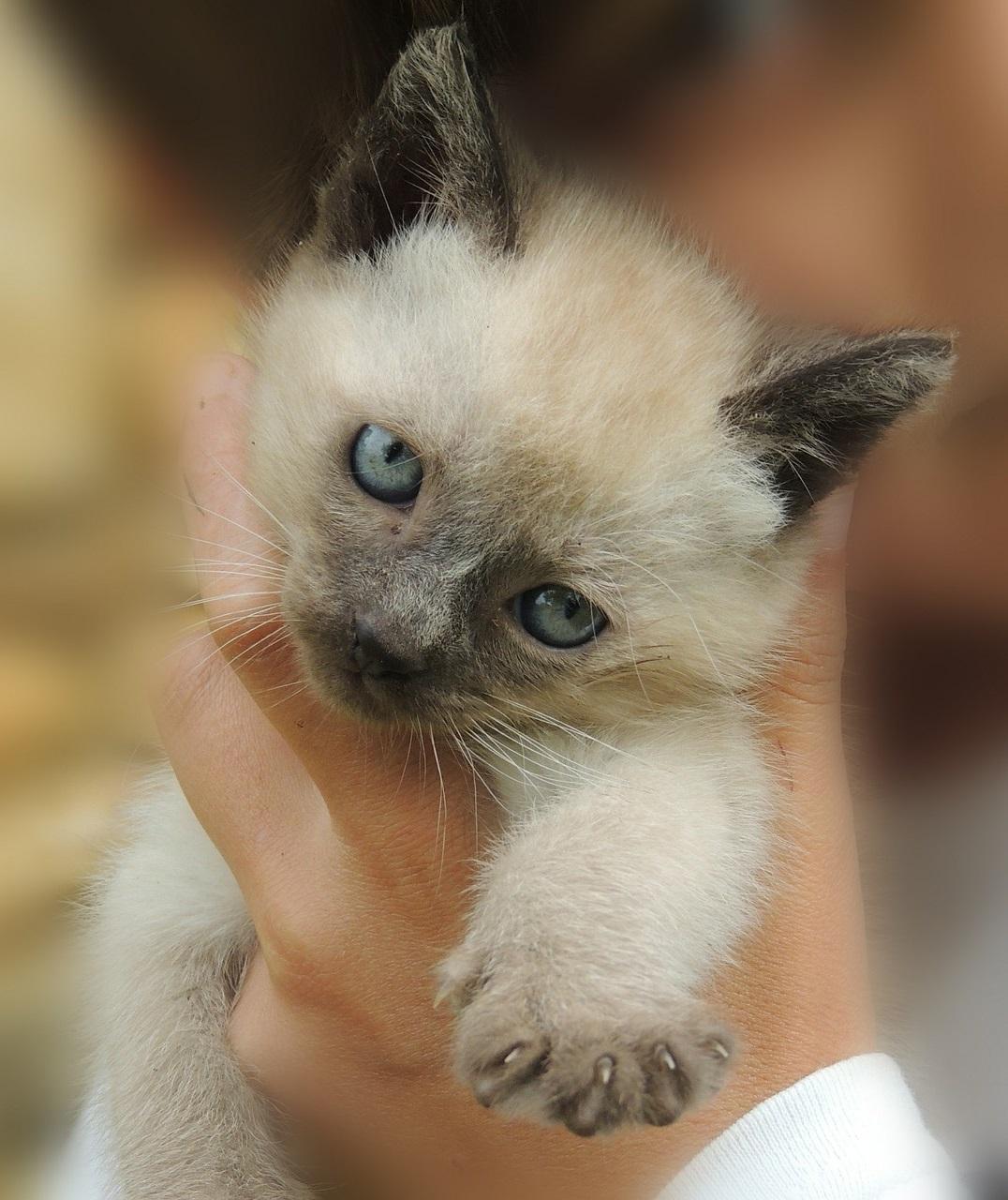 сиамская кошка фото (11)