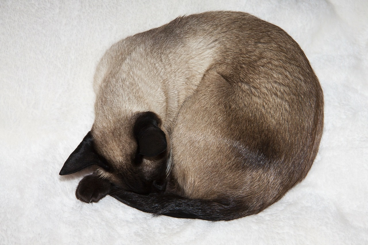 сиамская кошка фото (12)