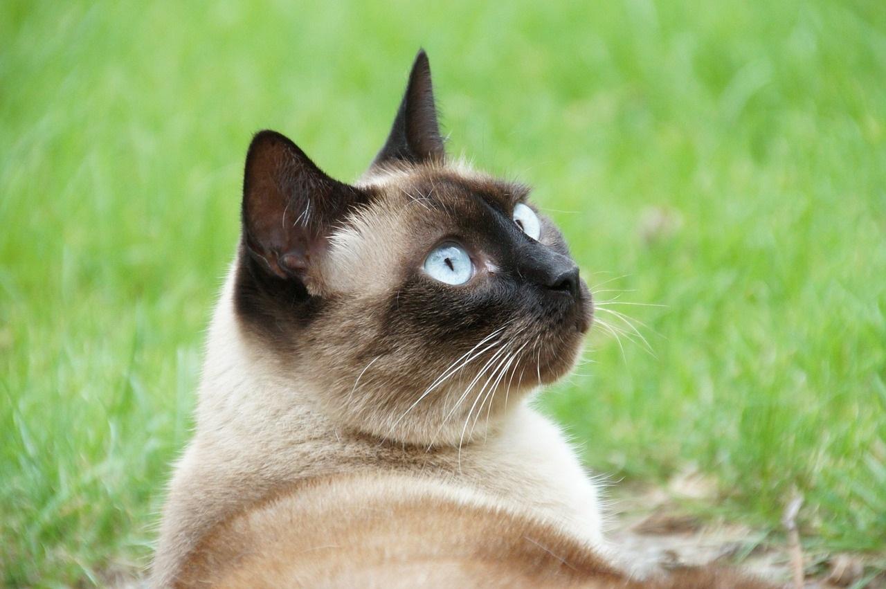 сиамская кошка фото (3)