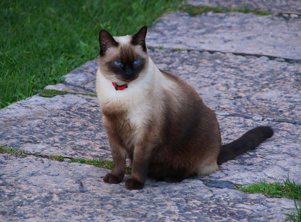 сиамская кошка фото (4)