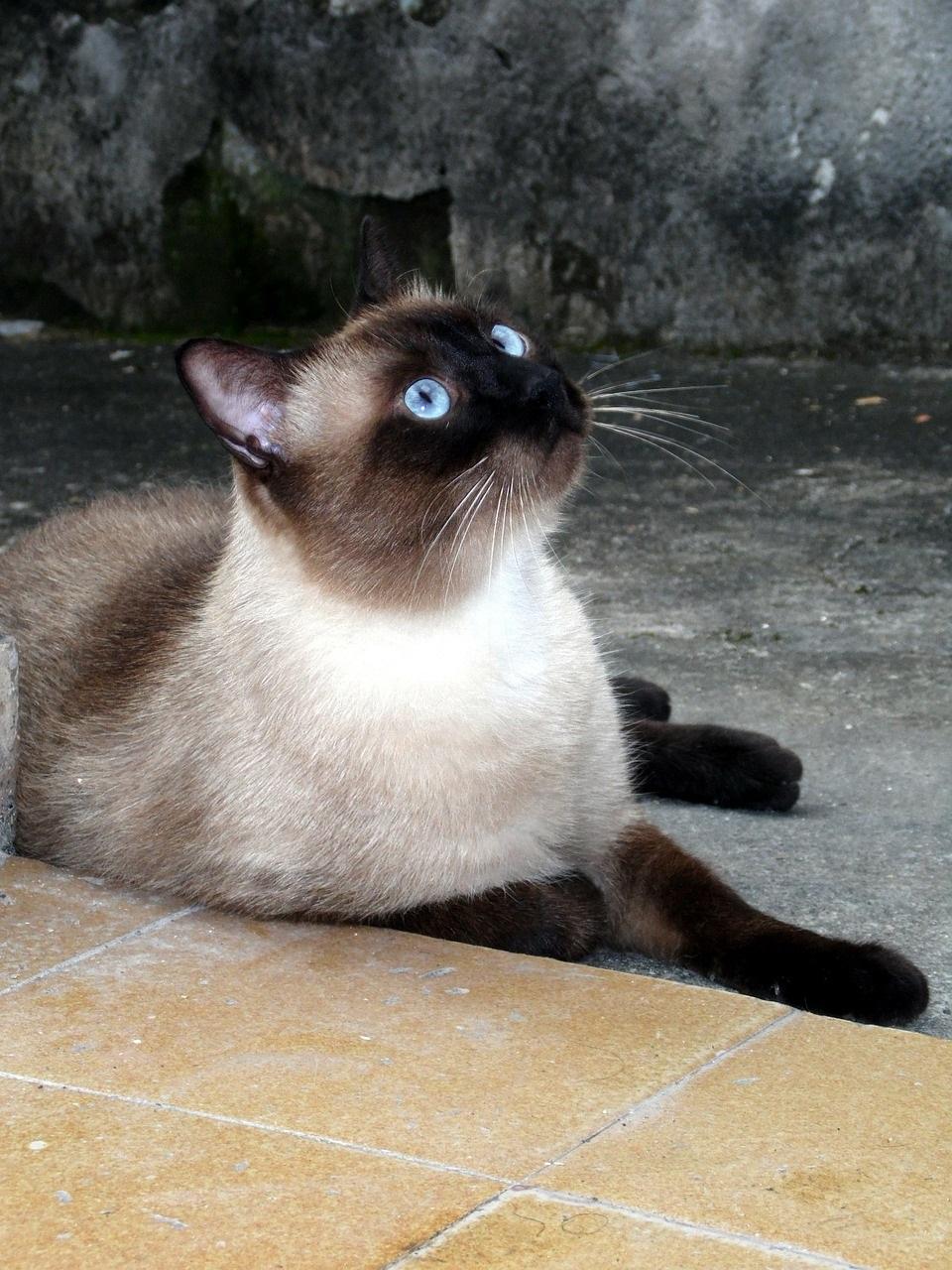 сиамская кошка фото (6)