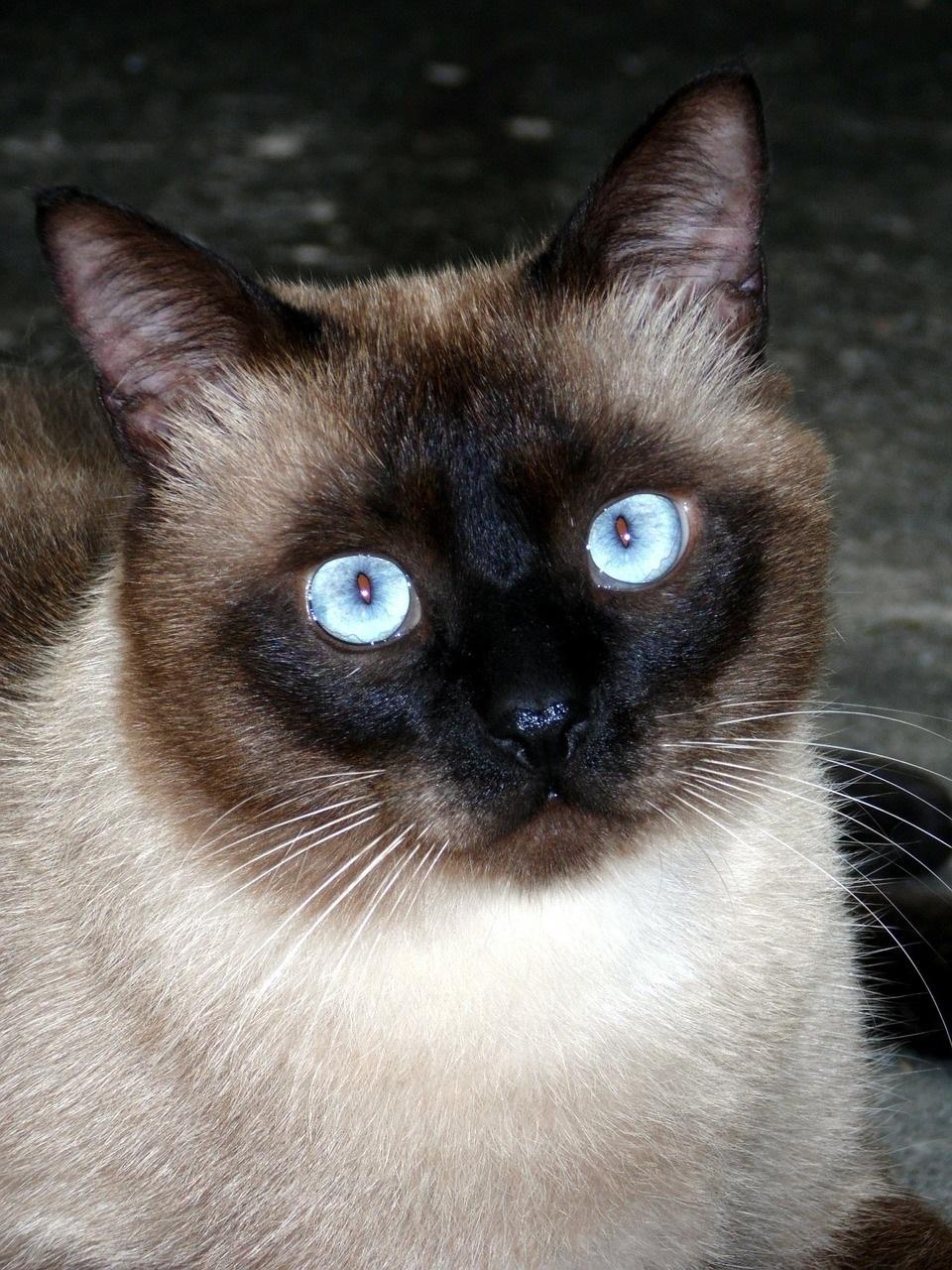 сиамская кошка фото (7)