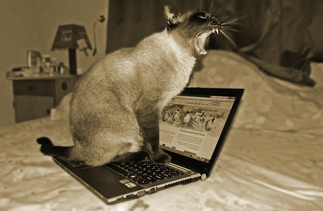 сиамская кошка фото (8)