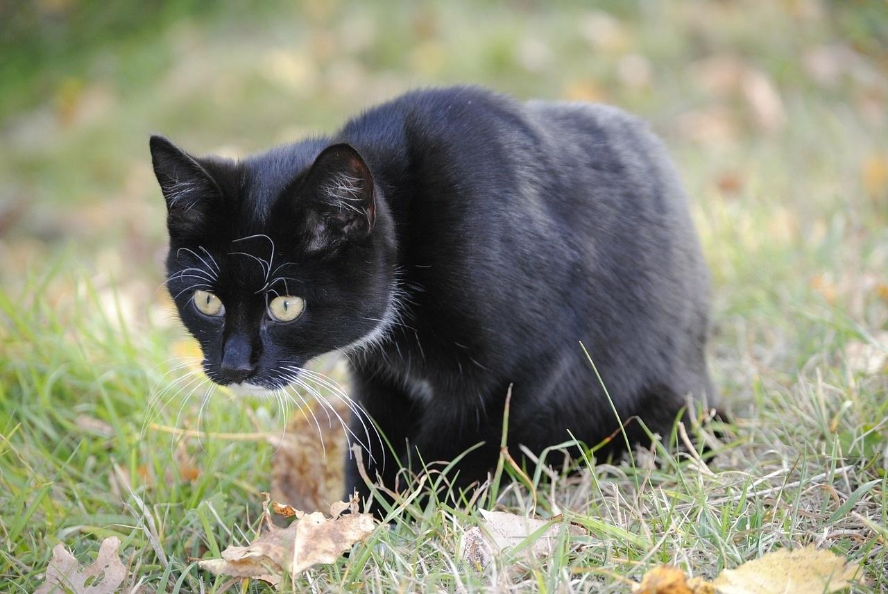 черно-белые коты фото (4)