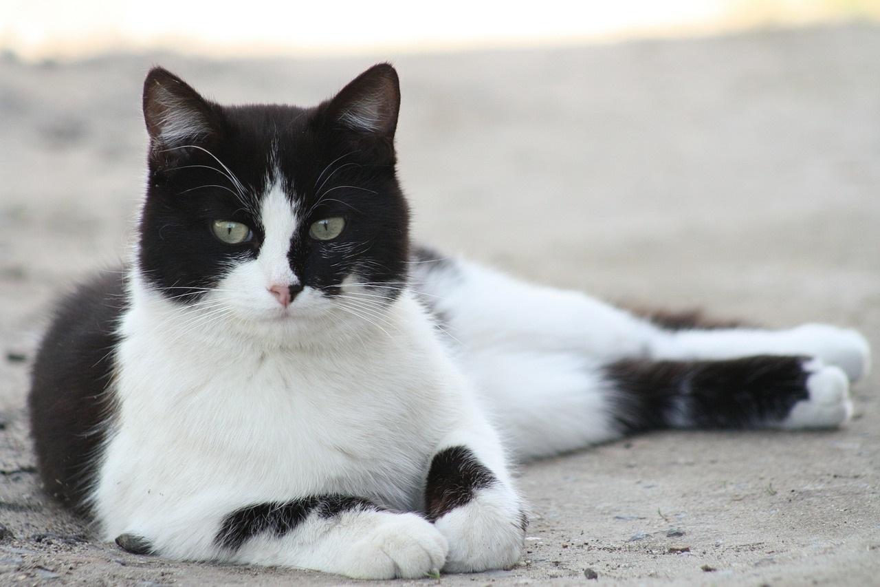 Коты чернобелые