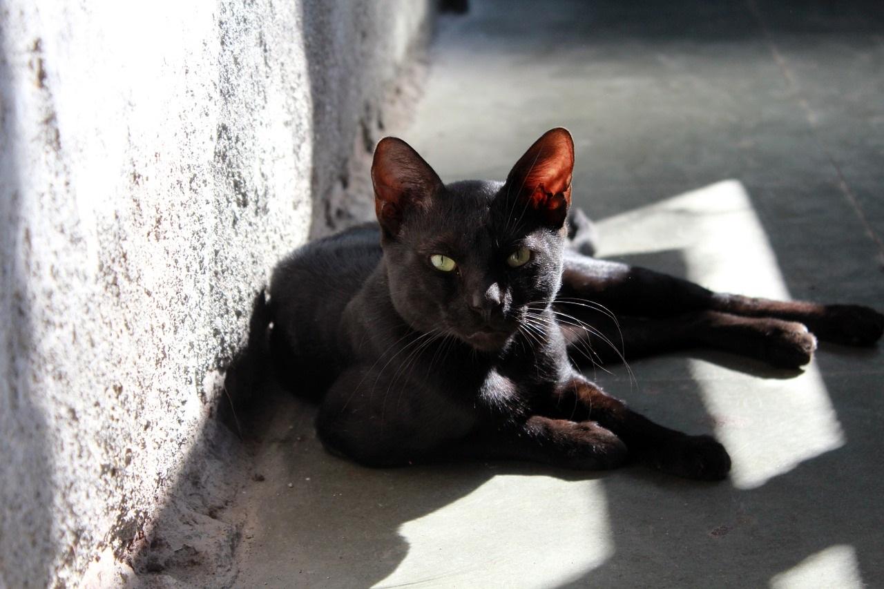 черные коты и кошки фото (1)