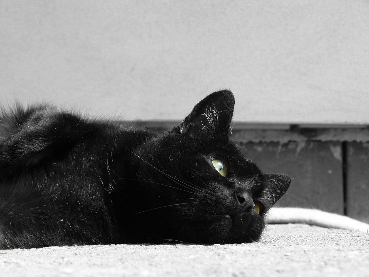 черные коты и кошки фото (10)