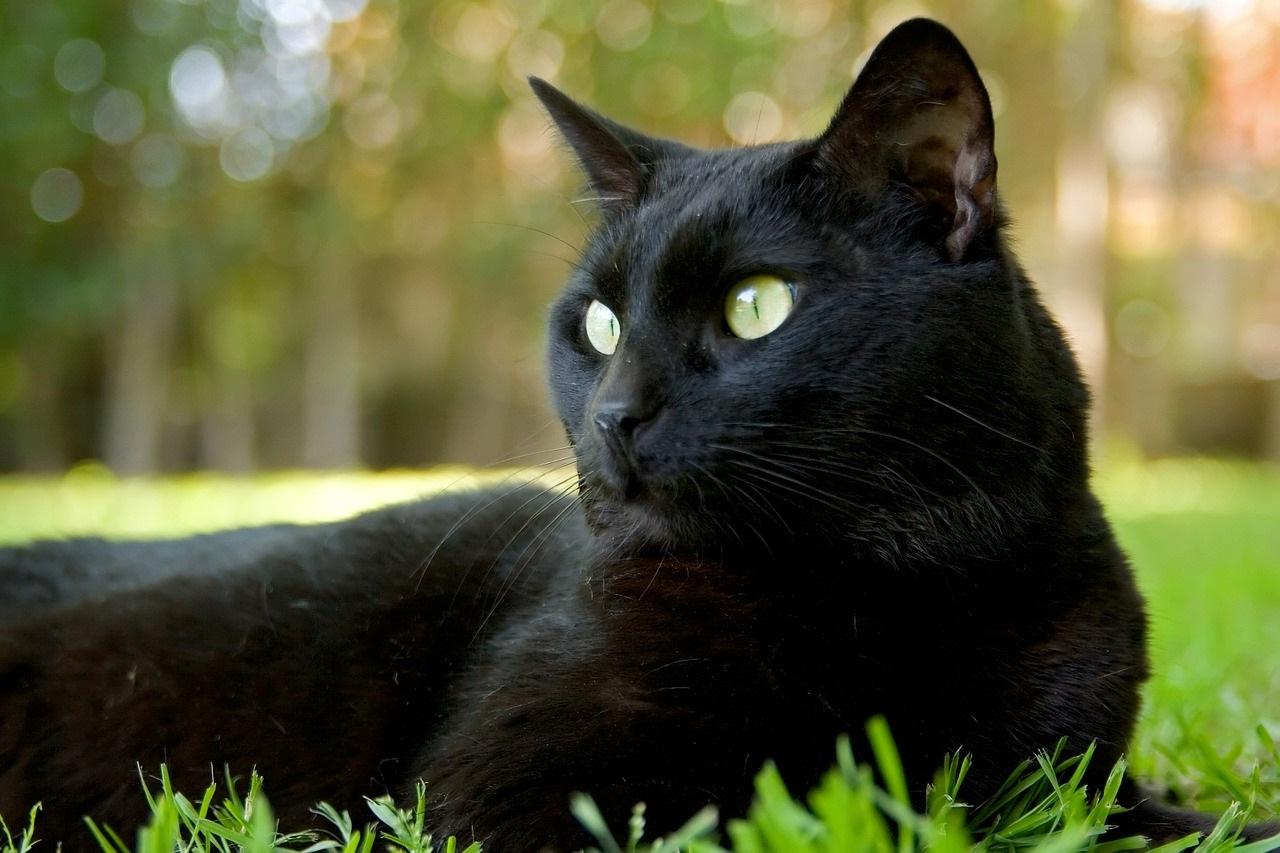 черные коты и кошки фото (11)