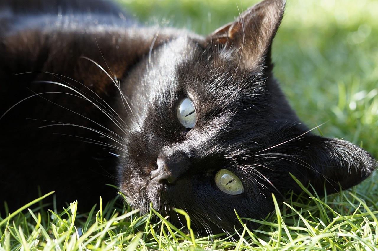 черные коты и кошки фото (12)