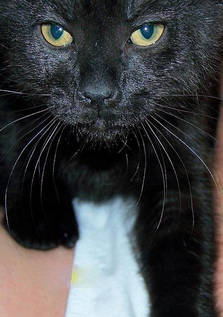 черные коты и кошки фото (4)
