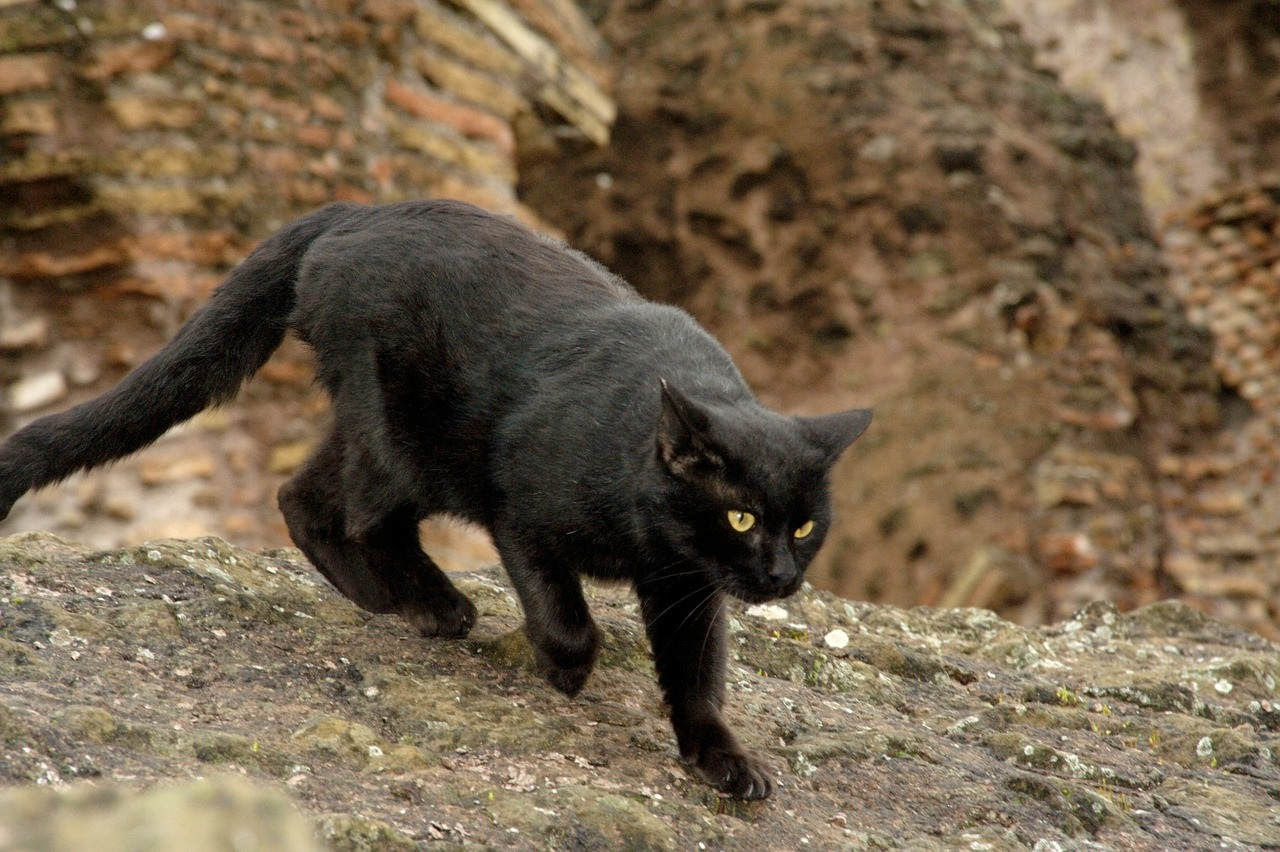черные коты и кошки фото (5)