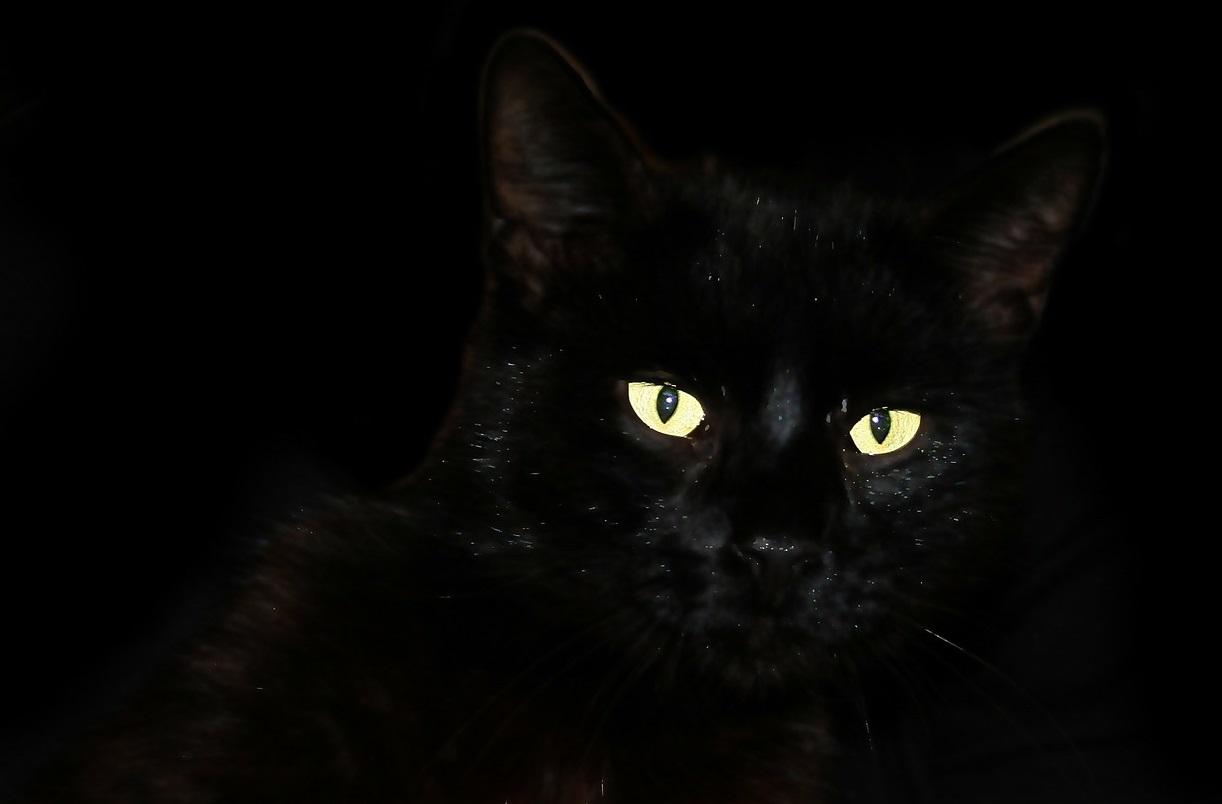 черные коты и кошки фото (6)
