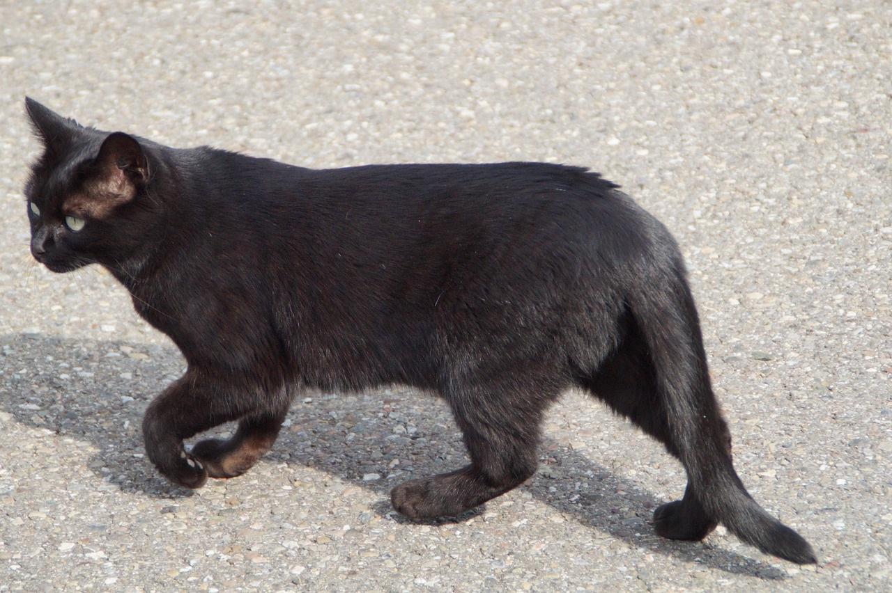 черные коты и кошки фото (7)