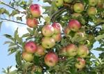 Закладка плодового сада: Чуйская область, Кыргызстан