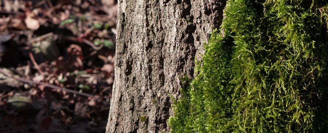 мох на деревьях