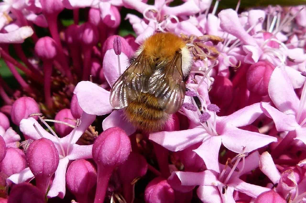 полезные насекомые сада и огорода 14