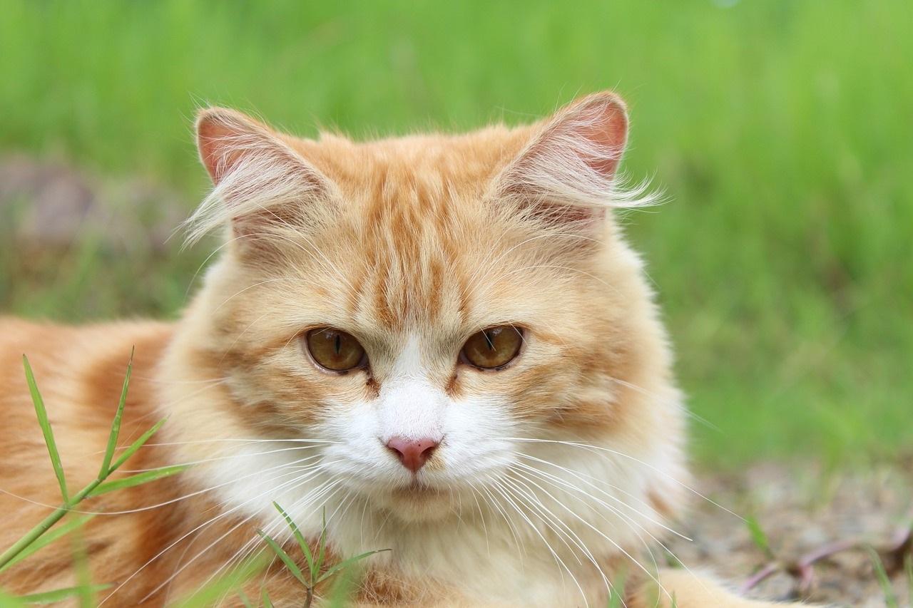 рыжие коты и кошки фото (1)