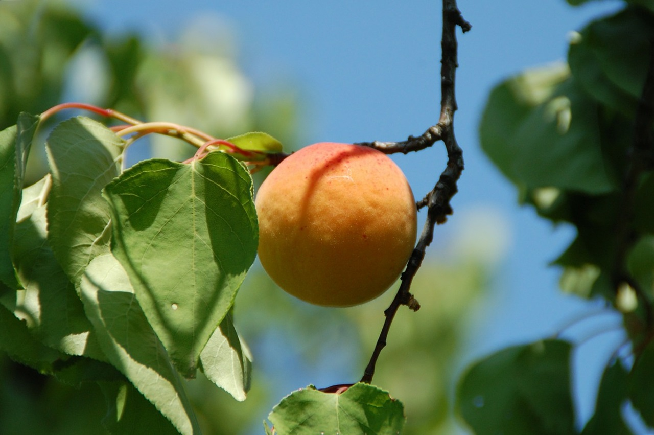 абрикос выращивание, посадка