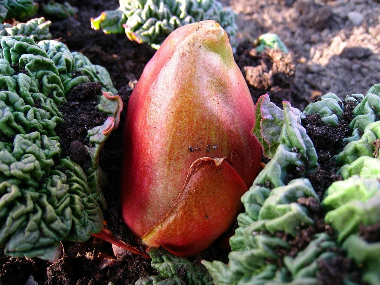 многолетние овощи