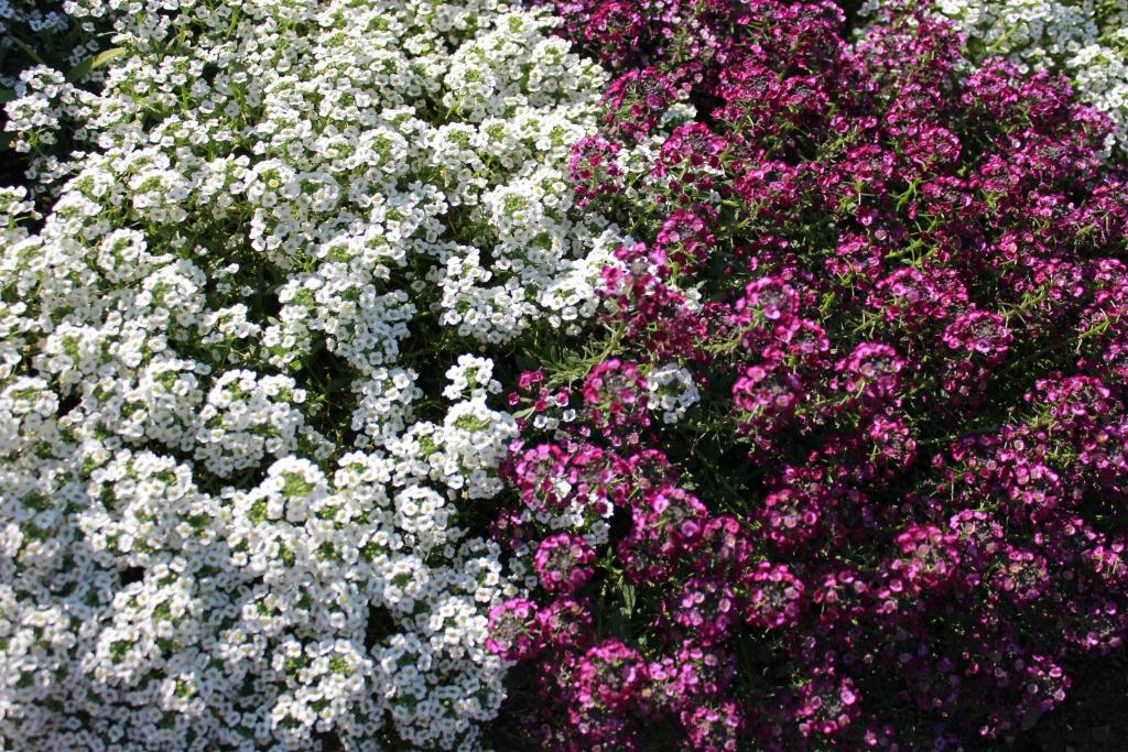 алиссум - неприхотливые цветы