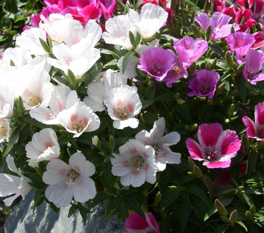 Годеция - неприхотливые цветы