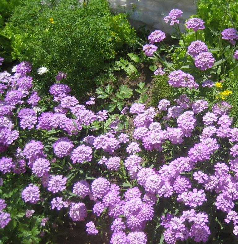 иберис - неприхотливые цветы