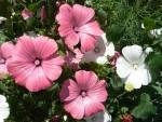 Пышные клумбы — самые неприхотливые цветы для дачи. Часть 4