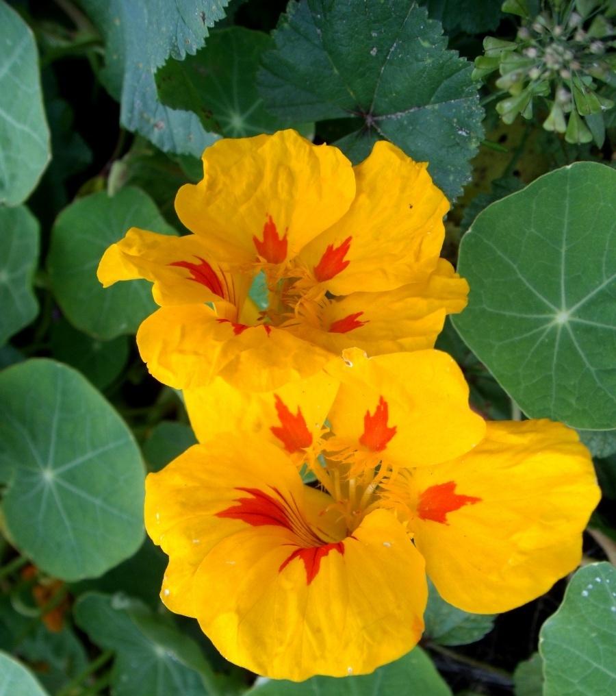 настурция - неприхотливые цветы
