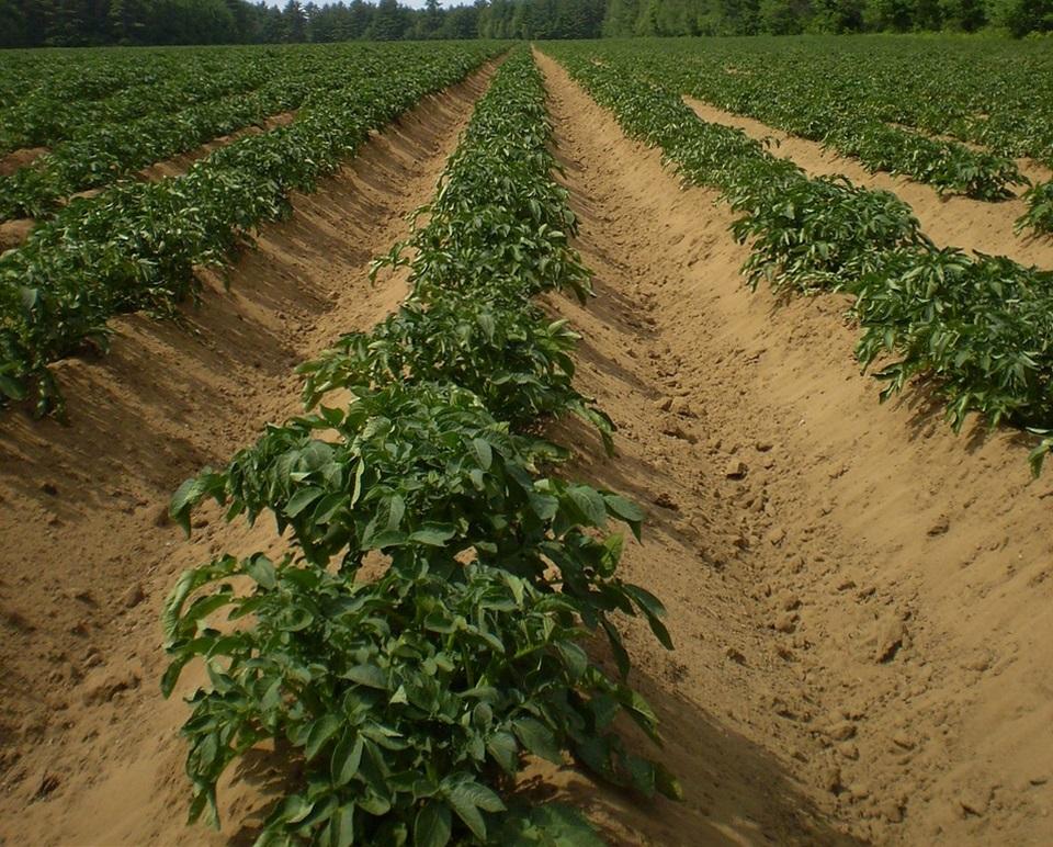 Огород когда сажать картофель 53