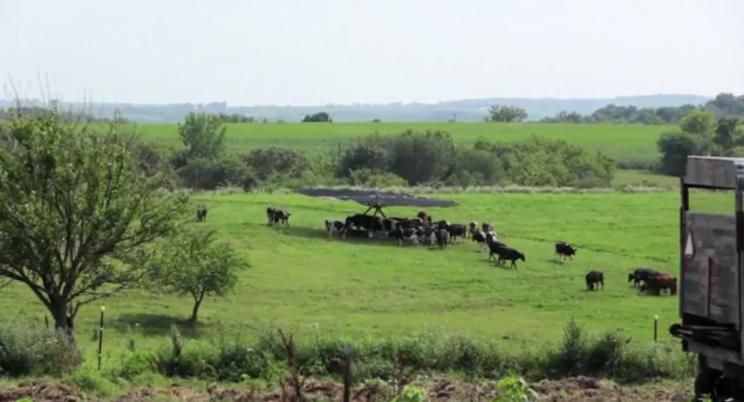 тент для коров 4