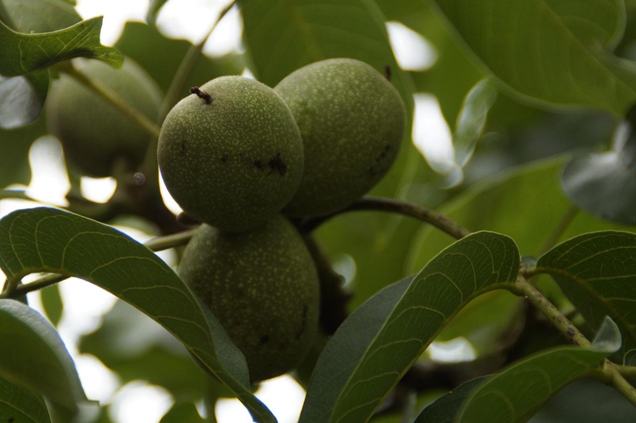 Обрезка грецкого ореха летом