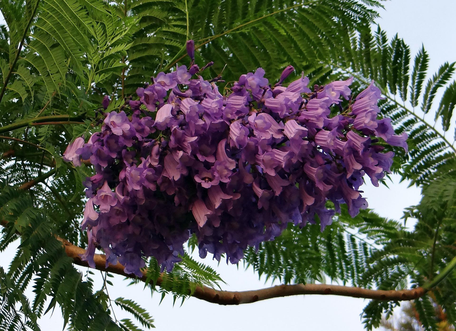 жакаранда мимозолистная jacaranda-mimosifolia