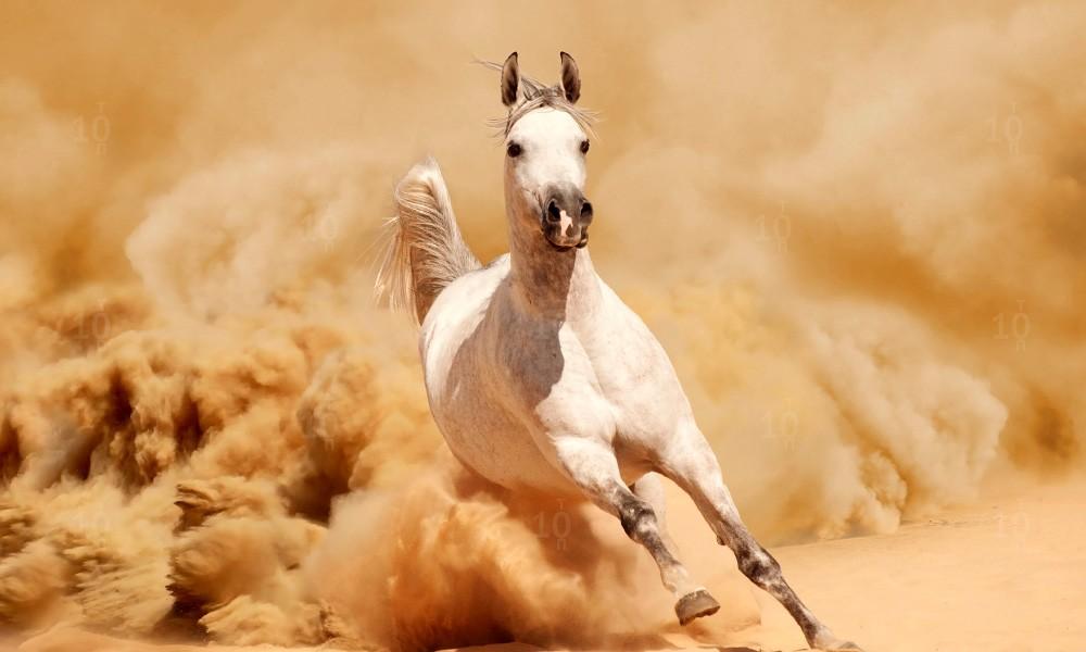 Арабская чистокровная лошадь фото