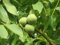 Грецкий орех: выращивание и уход