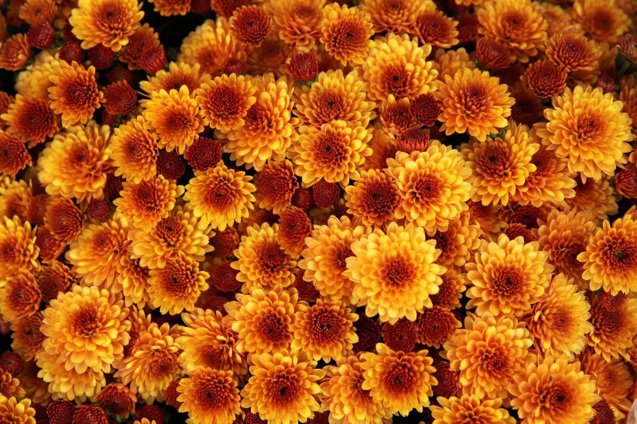 хризантемы сорта