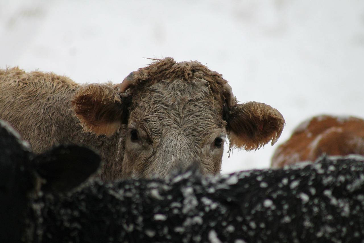 обморожение у животных 1