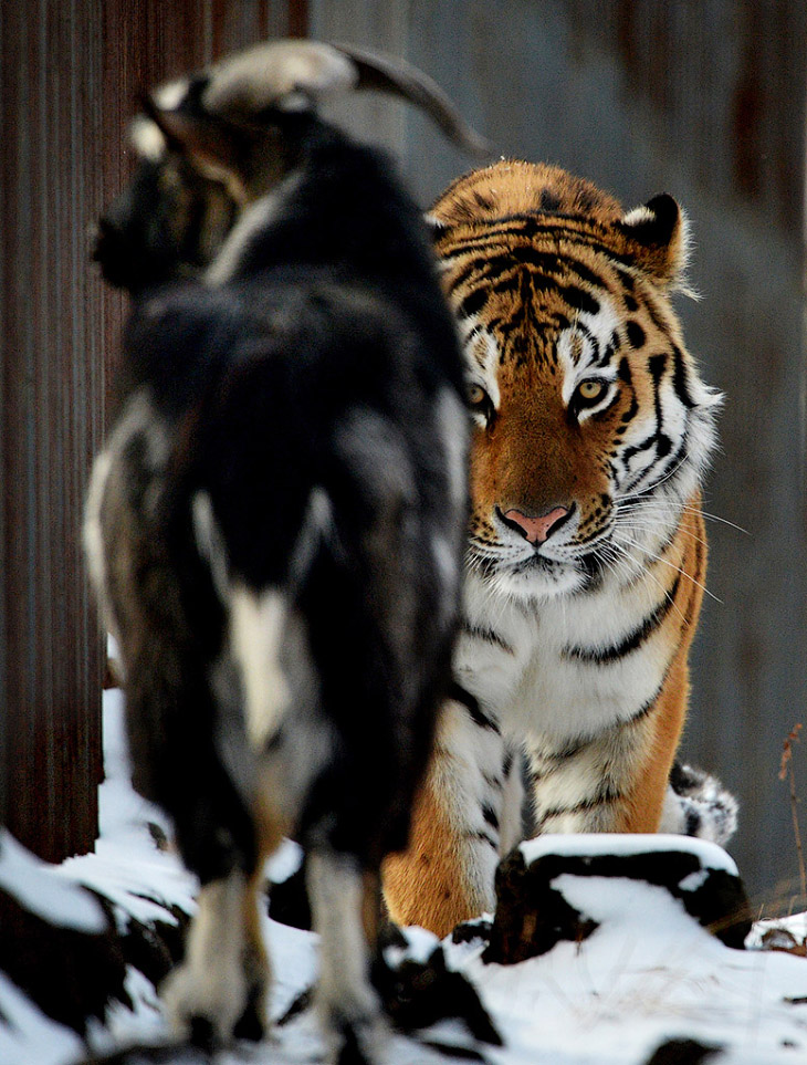 тигр и козел фото 1