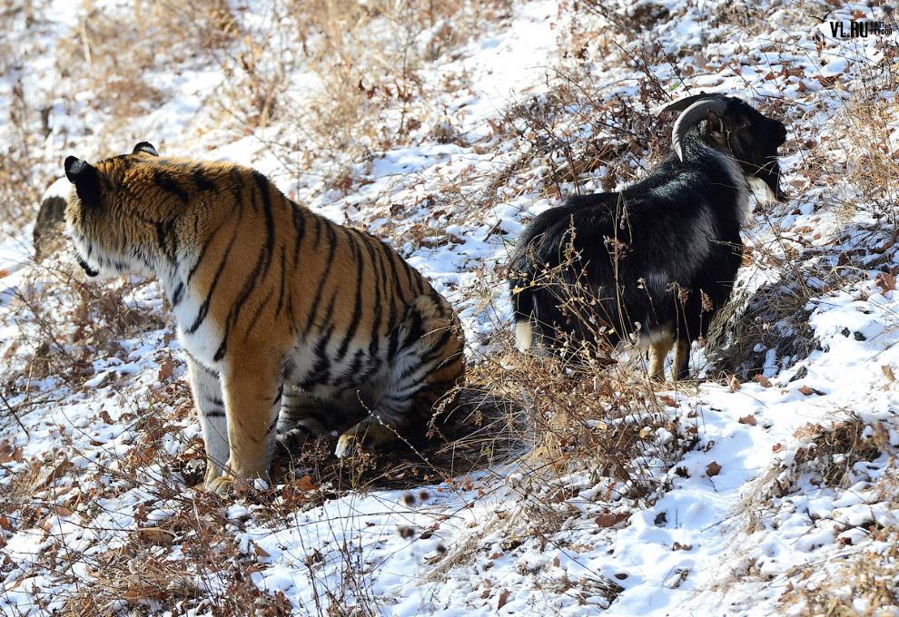 тигр и козел фото 10