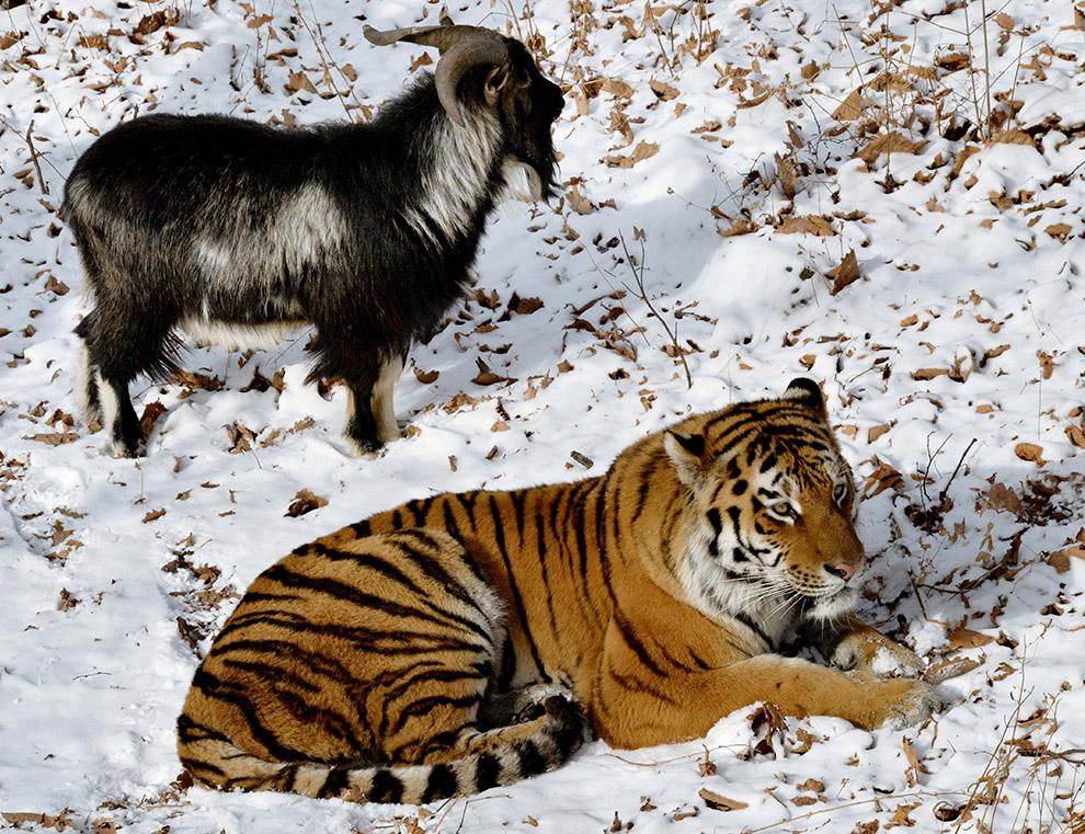 тигр и козел фото 11