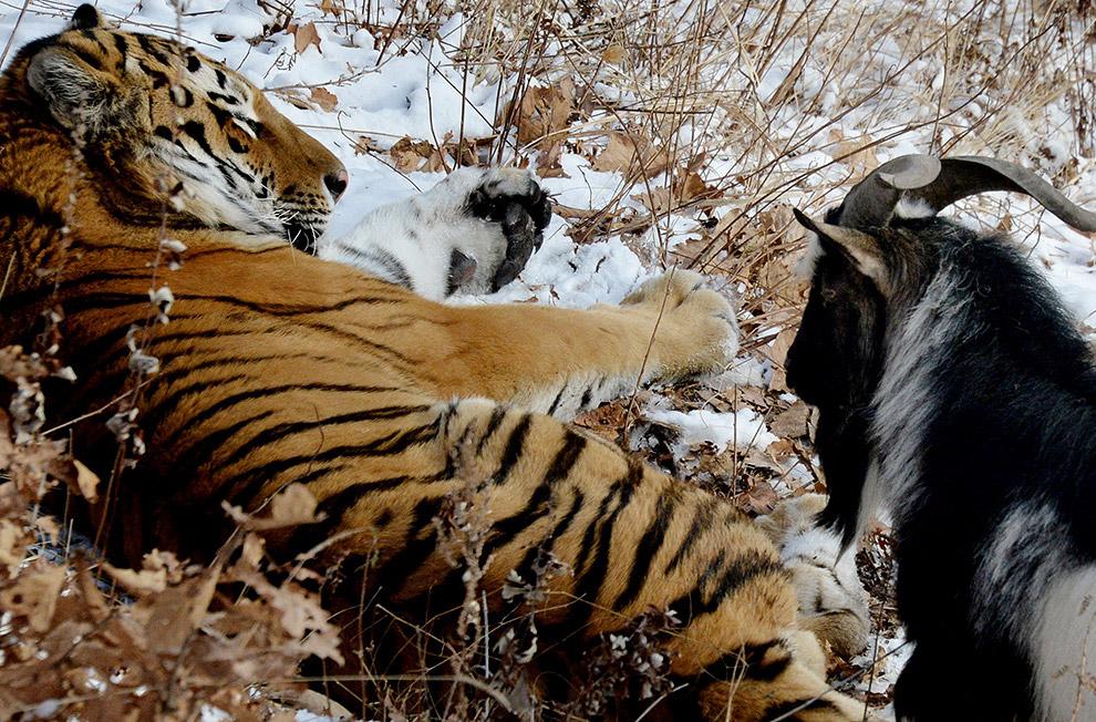 тигр и козел фото 12