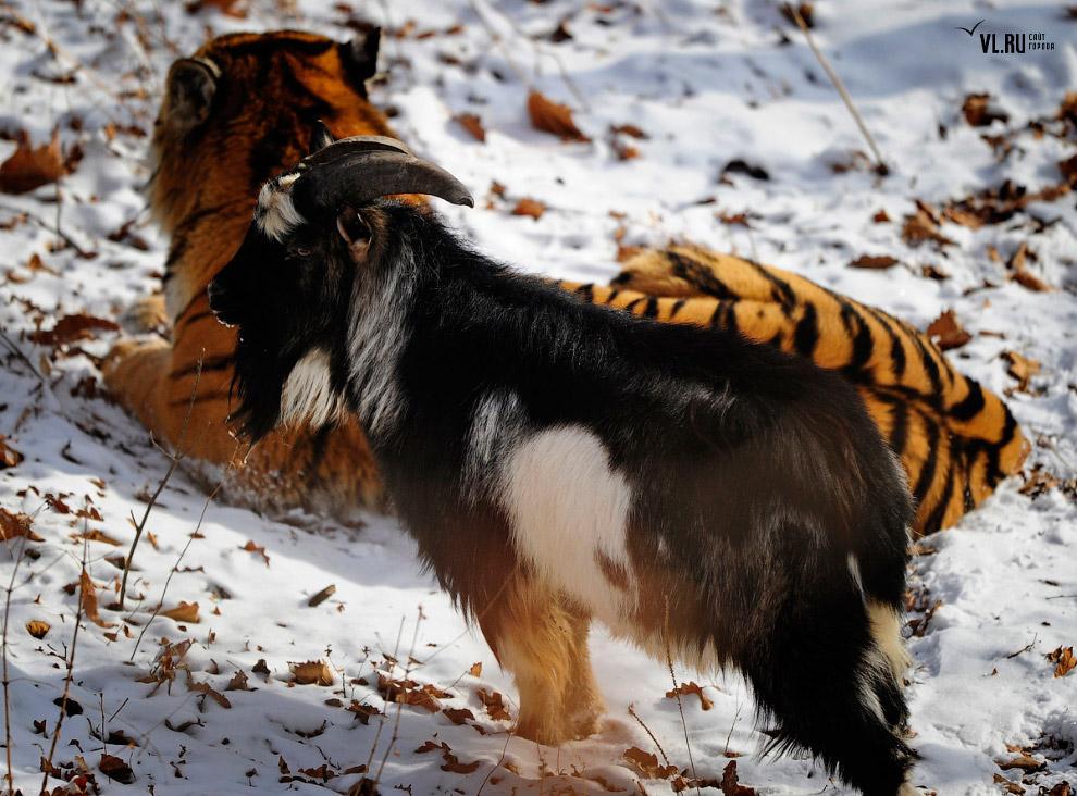 тигр и козел фото 2