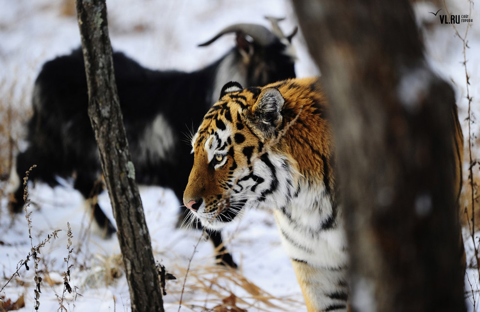 тигр и козел фото 3