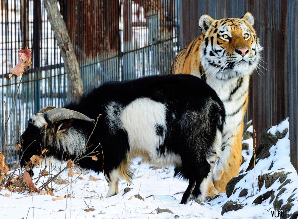 тигр и козел фото 4